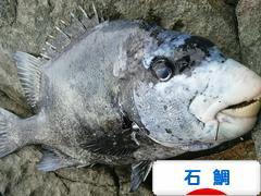にほんブログ村 釣りブログ 石鯛釣りへ
